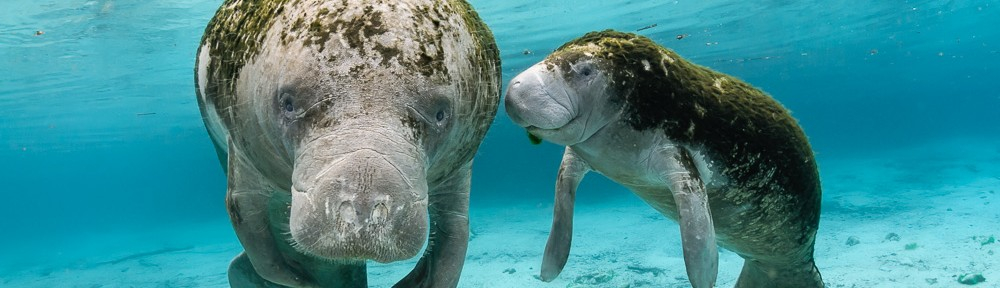 Young manatee female calf with mother
