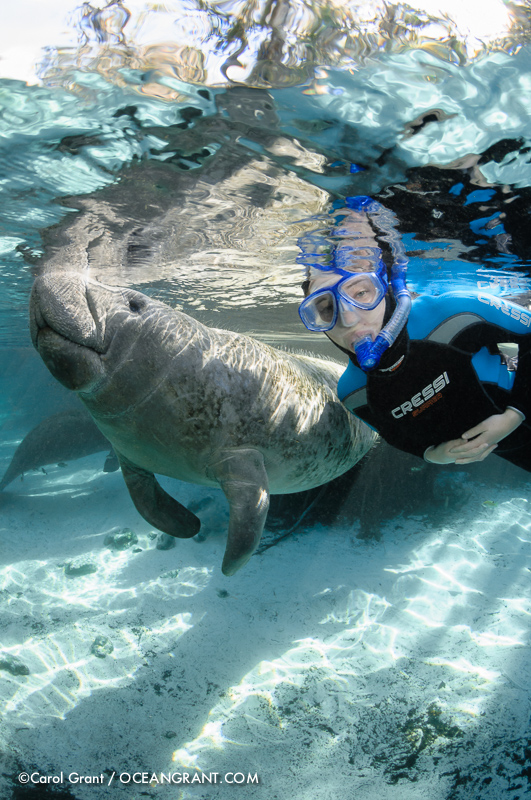 Florida manatee, snorkeler, float, passive observation