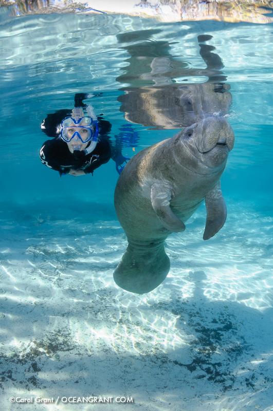 Manatee breath, snorkeler observes, blue water, Three Sisters Springs