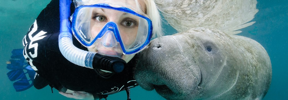 Florida manatee, curious, snorkeler, passive observation, polite