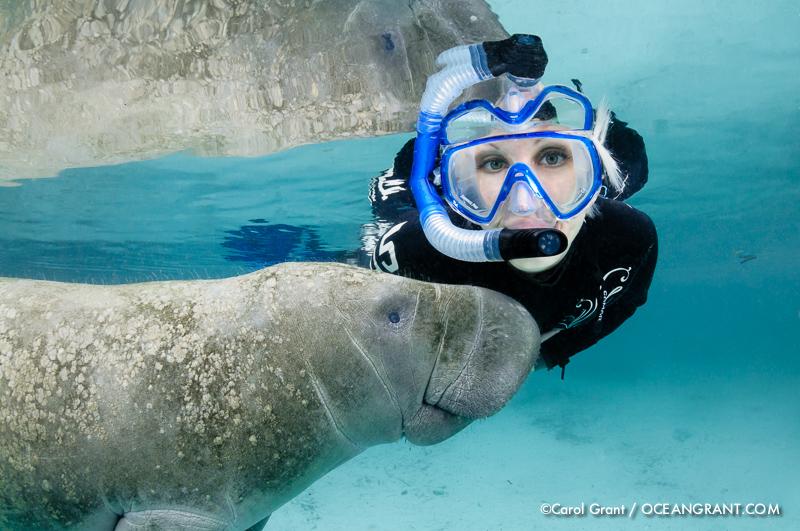 Florida manatee, snorkeler, polite, passive observation