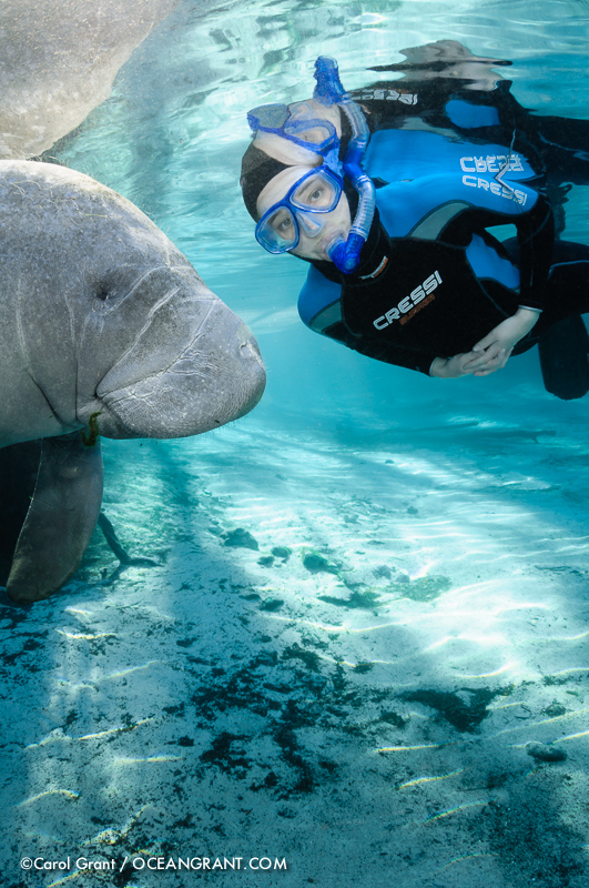 Manatee, passive observation, snorkeler, blue water, peaceful