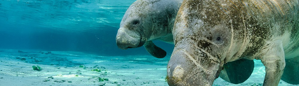 Manatee Mother and Calf, Curious