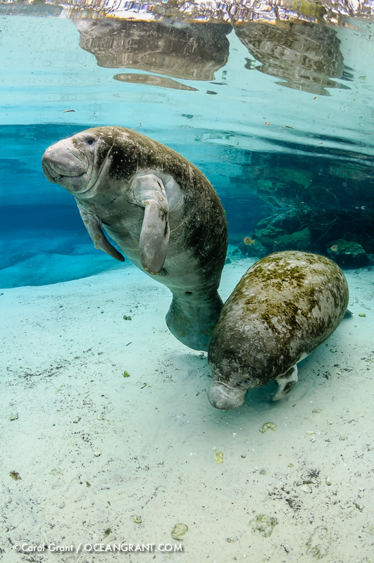 Manatees,Three Sisters Springs, Florida