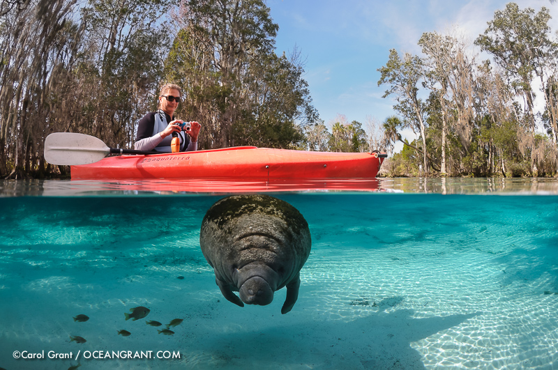 Manatees,Three Sisters Springs, Florida,kayak,