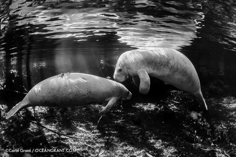 manatees,black and white,Three Sisters Springs,Florida