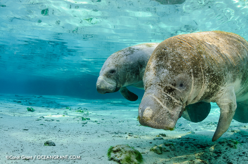 Manatee Mom and Calf, inquisitive, gaze, clear Florida springs,