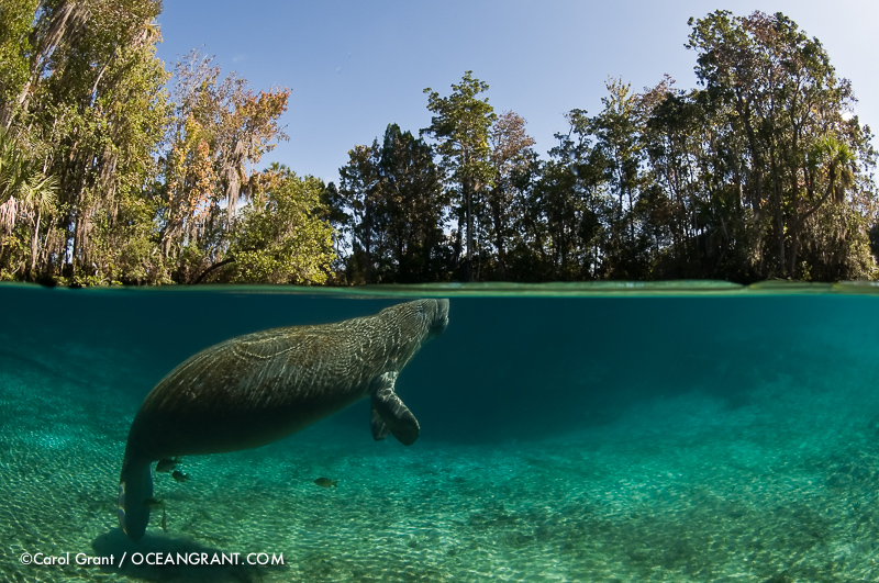 Manatee, split-level image, ©Carol Grant,