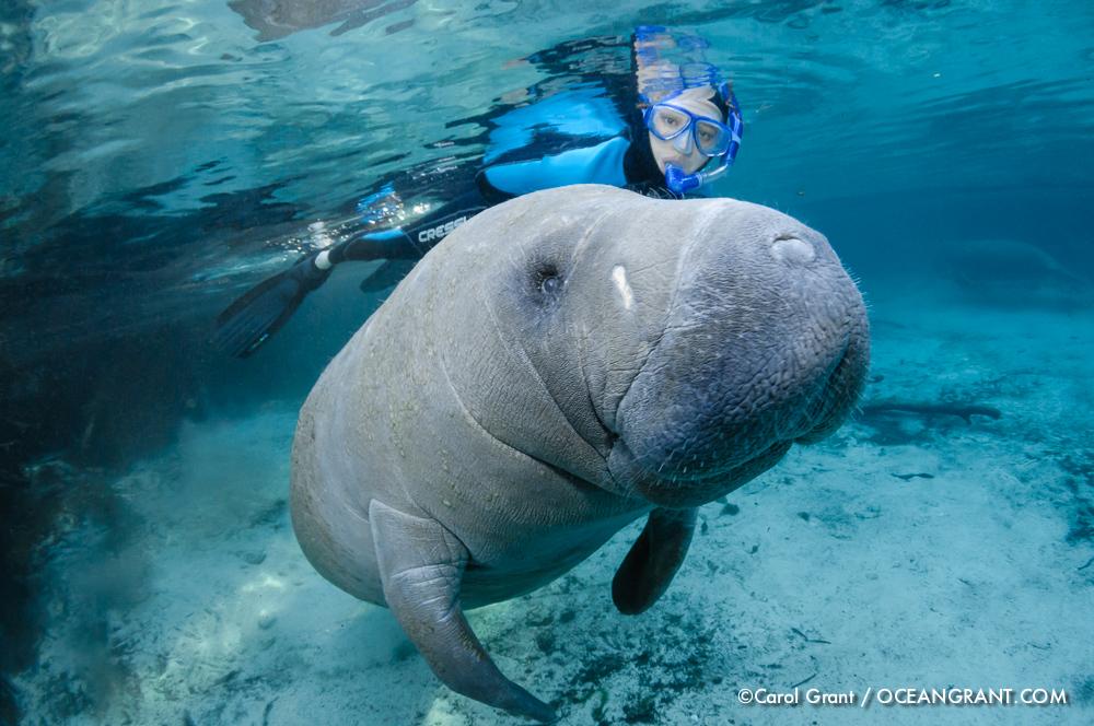 Manatee, snorkeler, passive observation, ©Carol Gratn