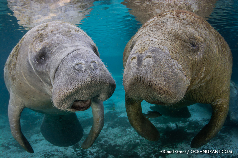 Two manatees, talking, whiskers, snouts