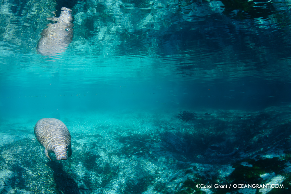 Manatee, swimming, springs, Three Sisters Springs, Florida,