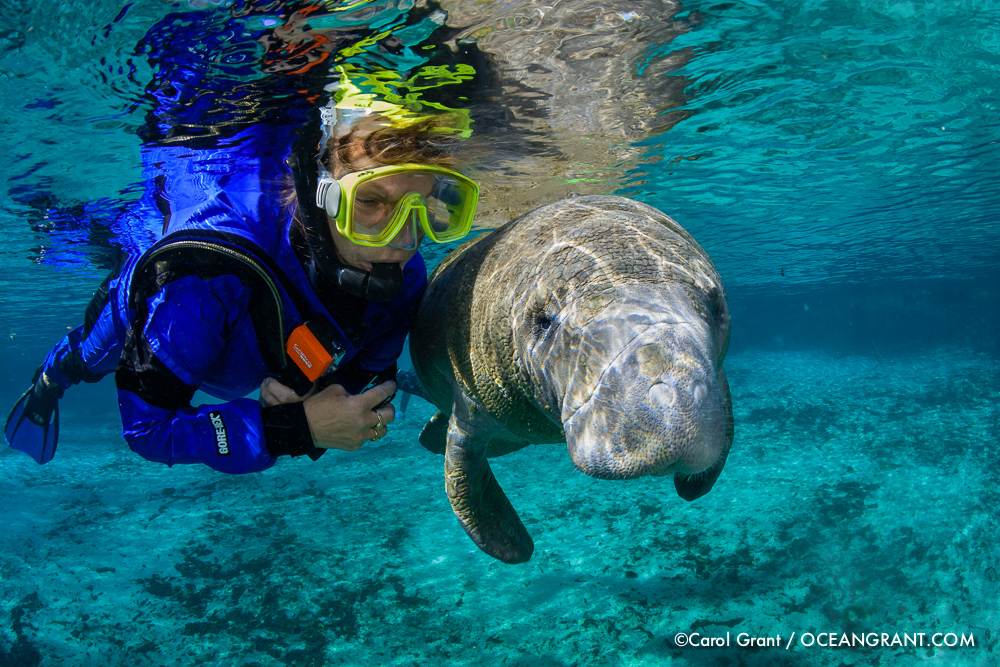 Manatee calf, snorkeler, passive observation, Three Sisters Springs