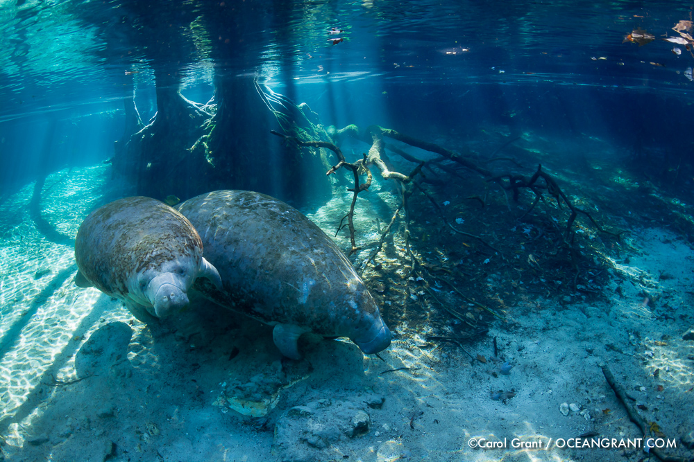 Mom and Baby Manatees, cypress tree roots, sun rays,