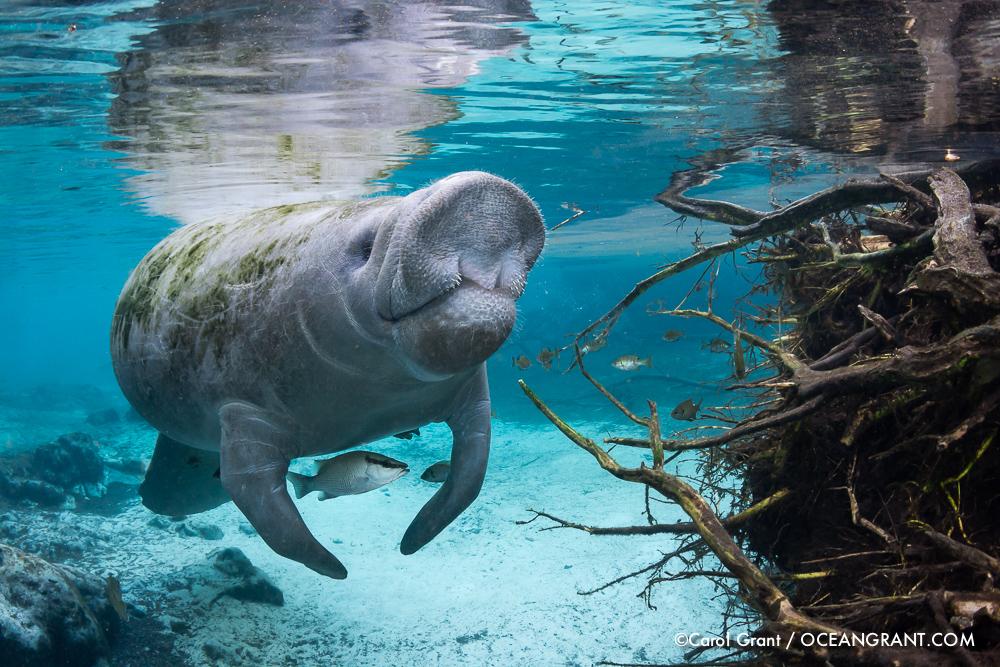 Florida, manatees,deflategate,underwater