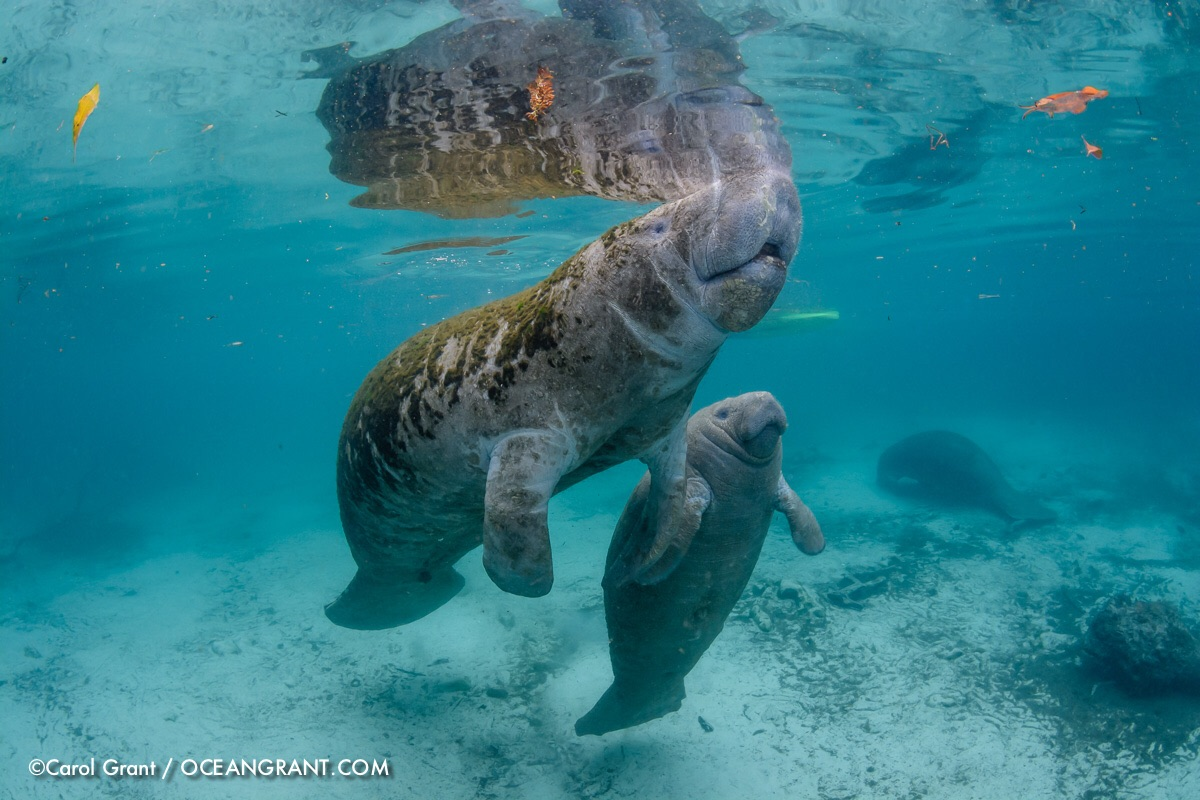 Feb 23 2015 I was asked to take photos of this very small and skinny mother manatee and her young male calf. Three Susters Springs, Crystal River, Florida.