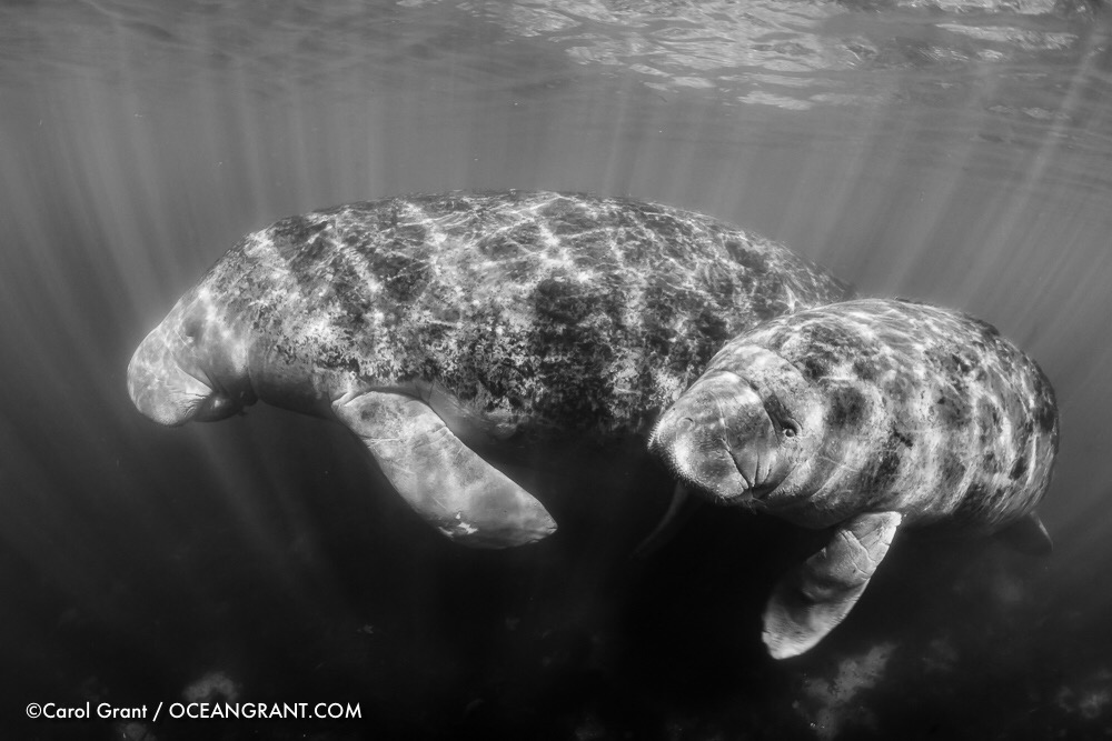 manatee mom and calf, Three Sisters Springs, ©CGrant-oceangrant.com