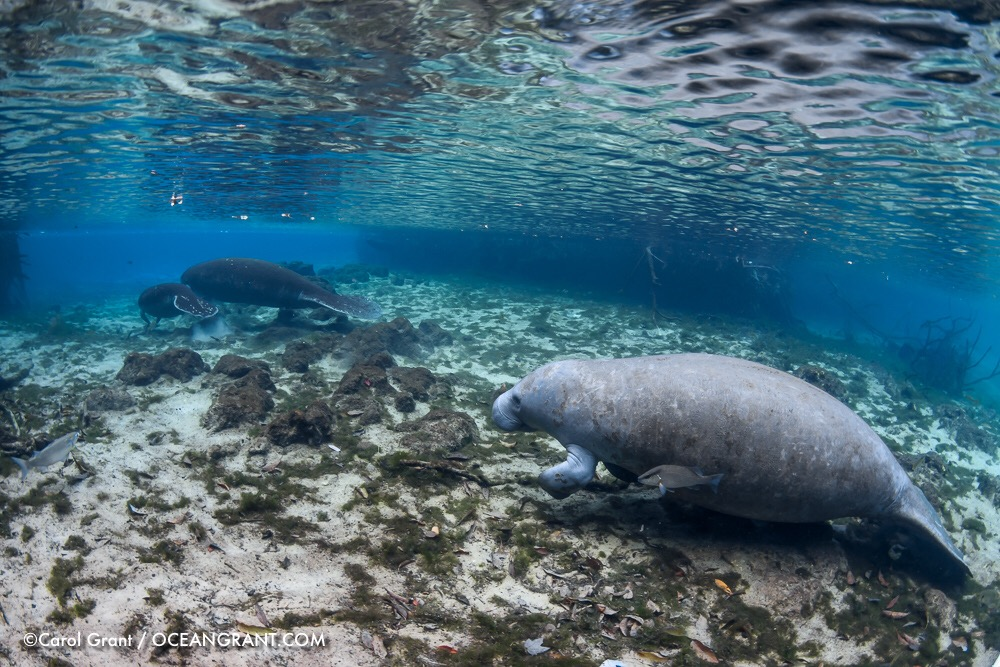 male manatee, mom and calf, springs