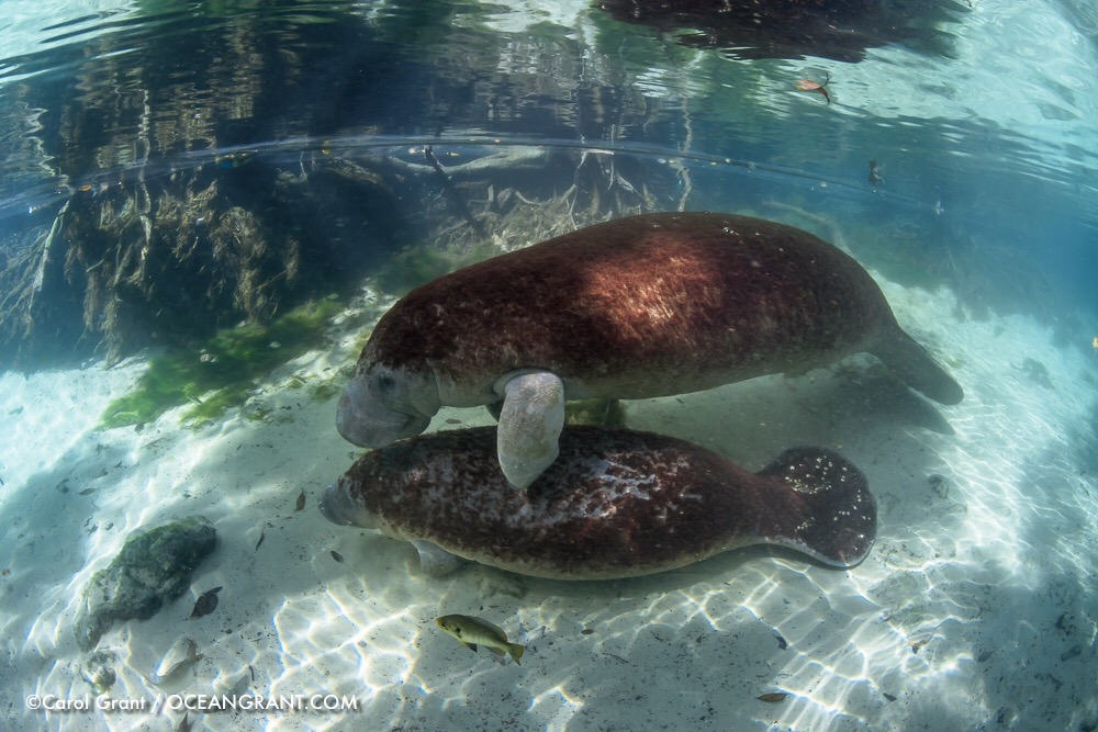 Manatee mother, male calf