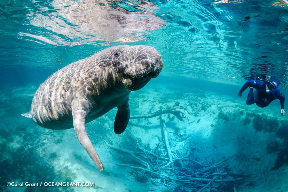 Manatee male, blue spring, snorkeler
