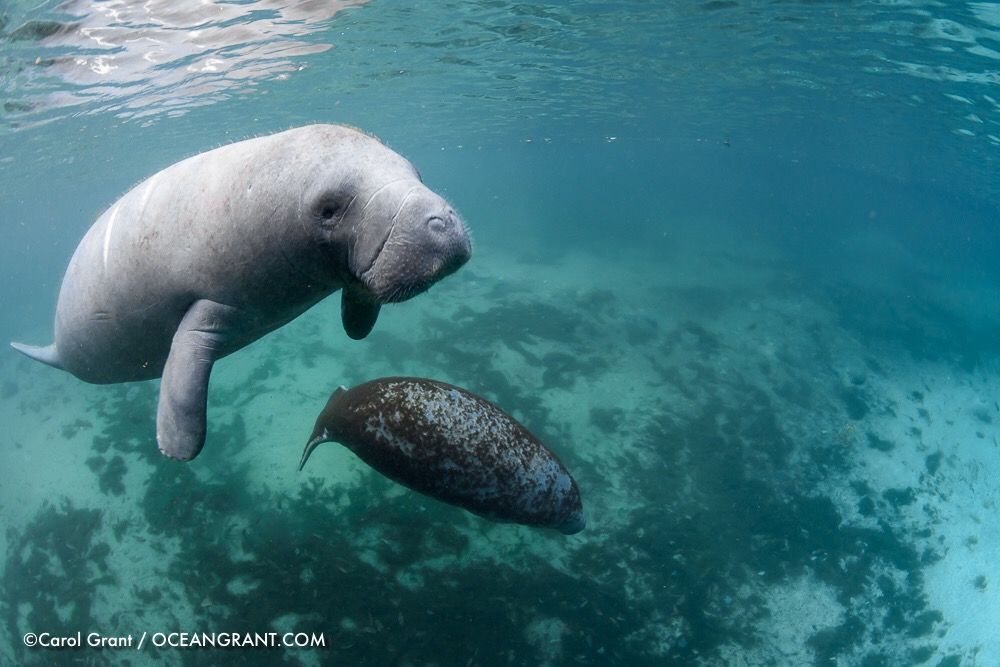 Manatee male, calf, exploring, springs