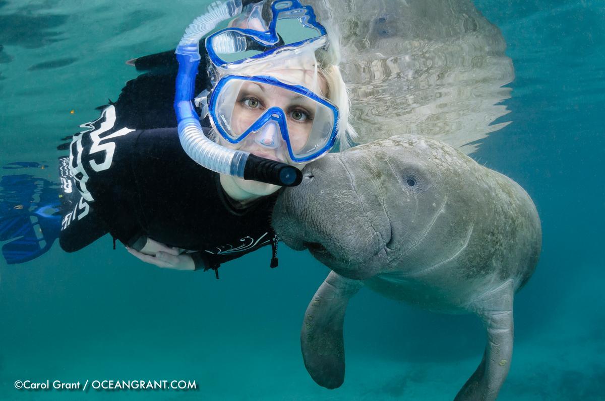 Manatee Nuzzles Snout On Snorkeler