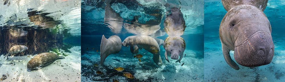 manatees, 2015, ©CGrant
