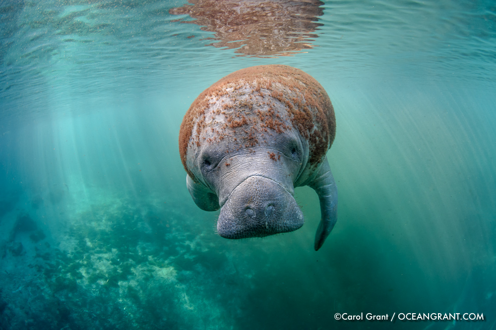Manatee_red_look_7Jan-1363