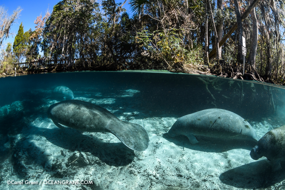 Manatee_several_split_20Jan-2585