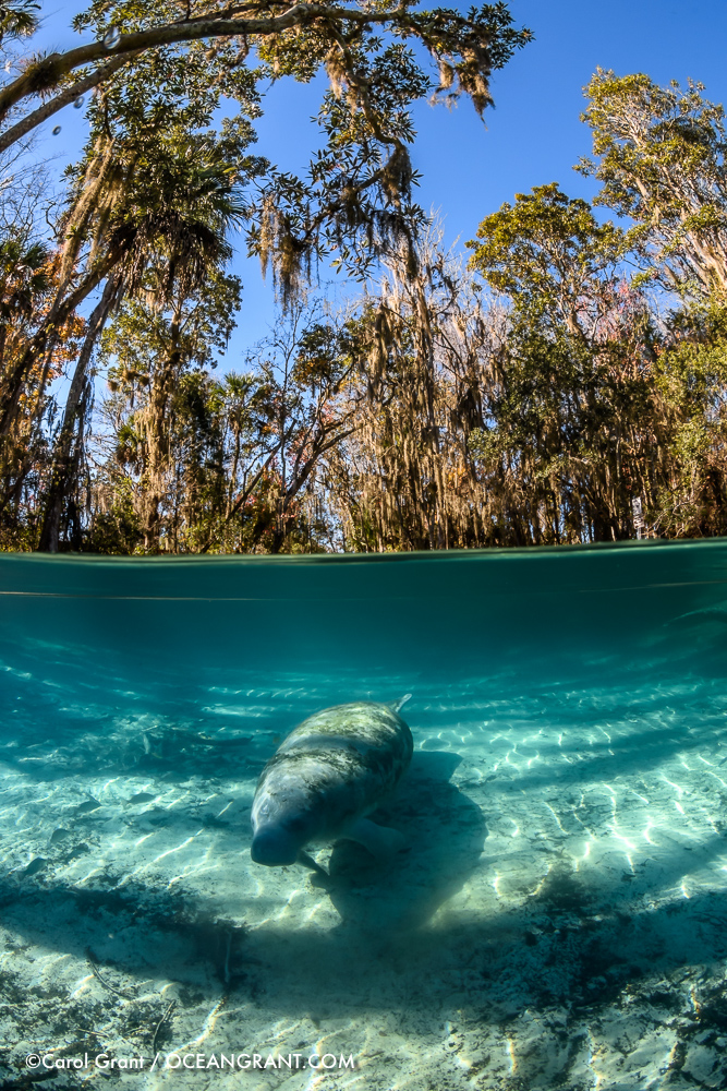 Manatee_split_20Jan-2472