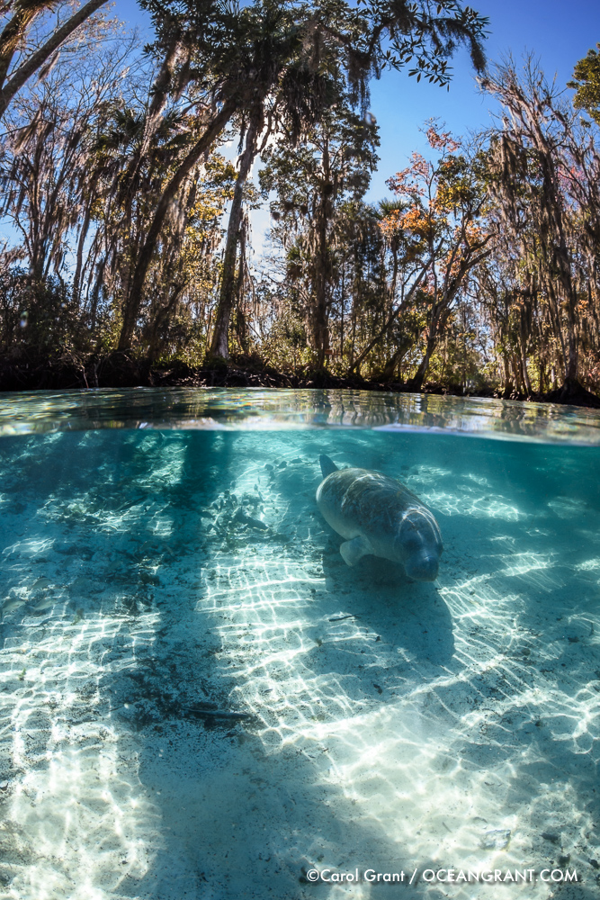 Manatee_split_light_11Jan-1362