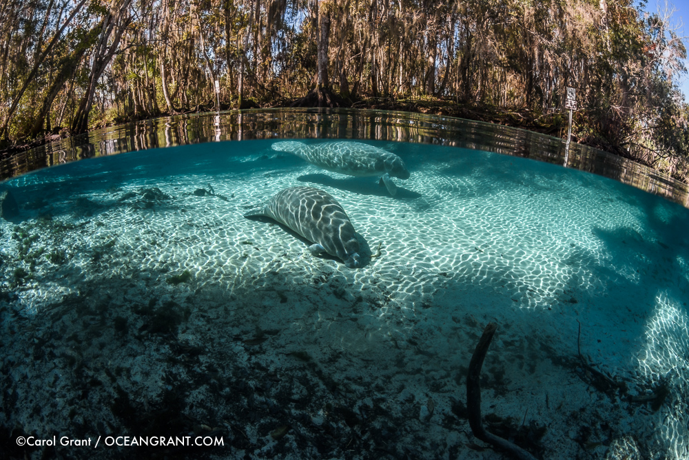 Manatee_split_two_light_7Jan-1364
