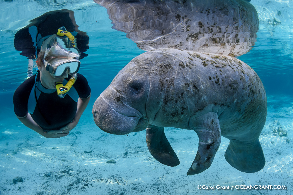 manatee,friend,curiosity,peaceful,©CGrant