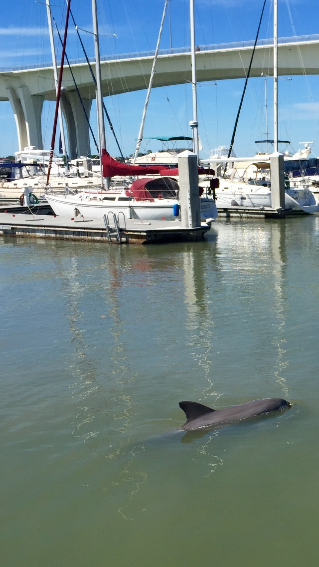 dolphin,clearwater,harbor