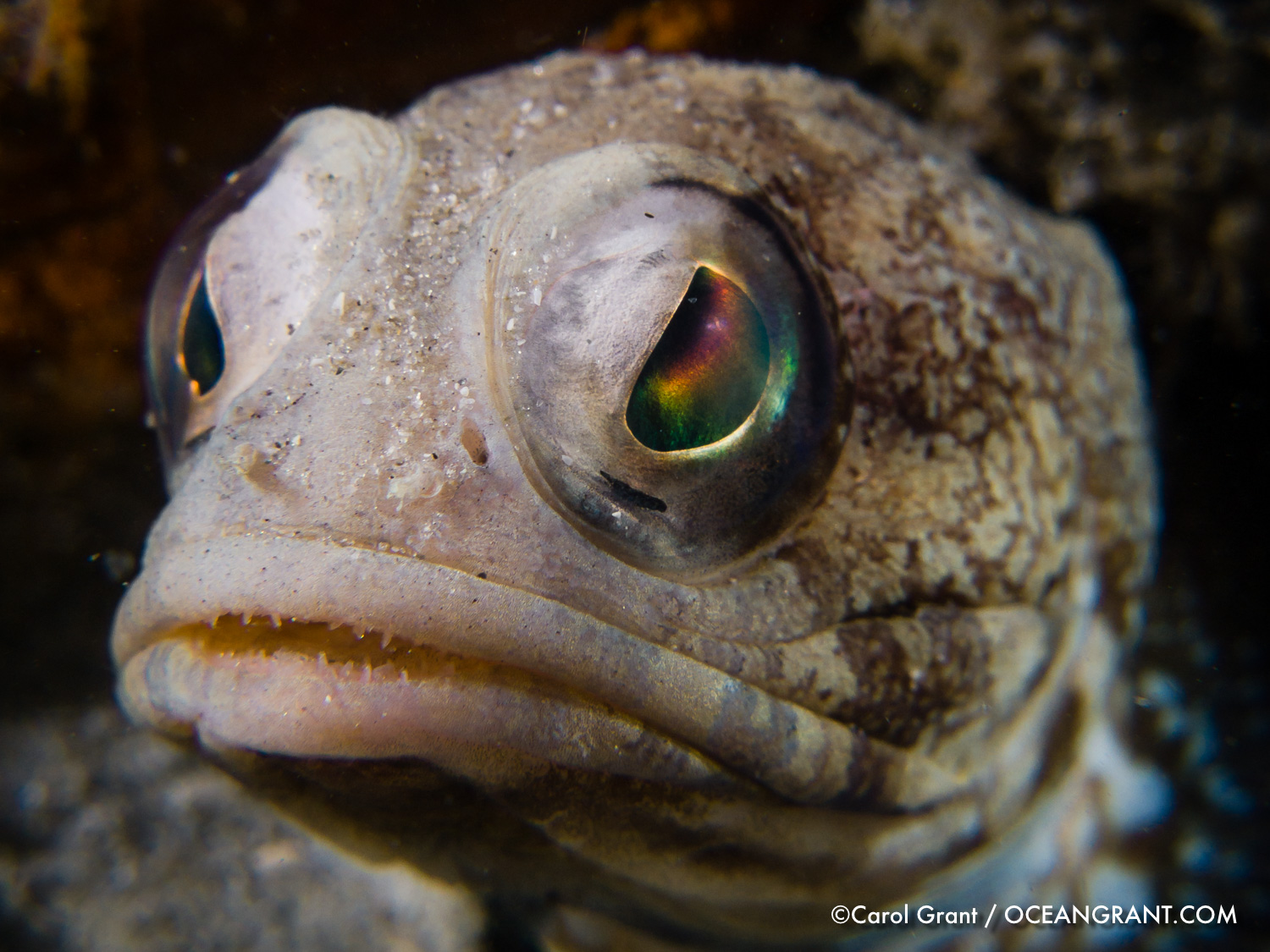 jawfish_bhb_june06-2940