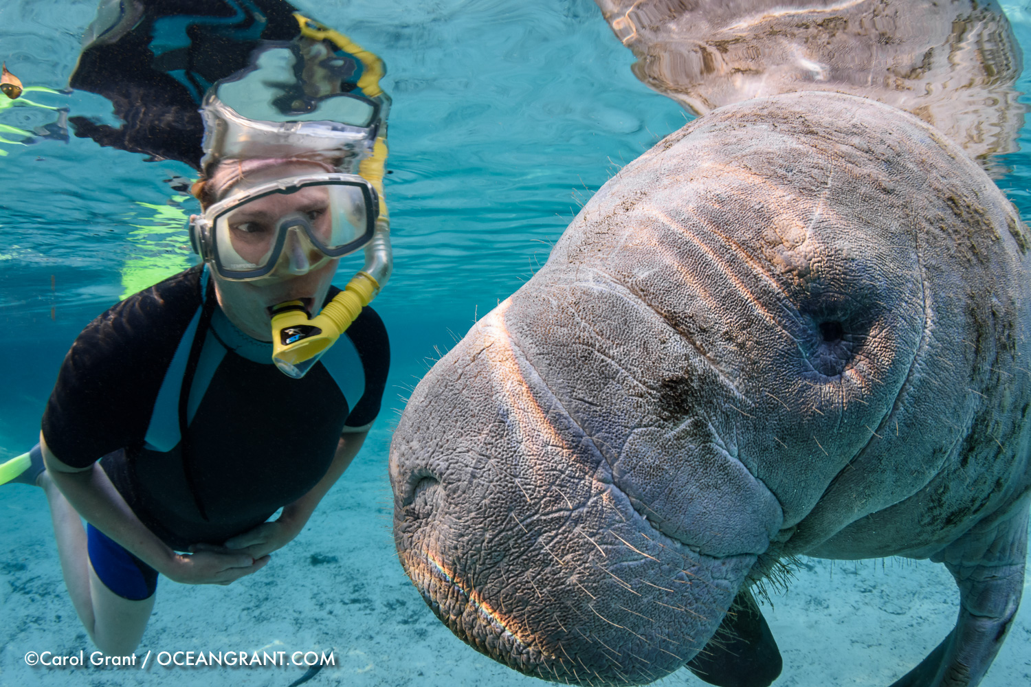 Close Manatee Curiosity