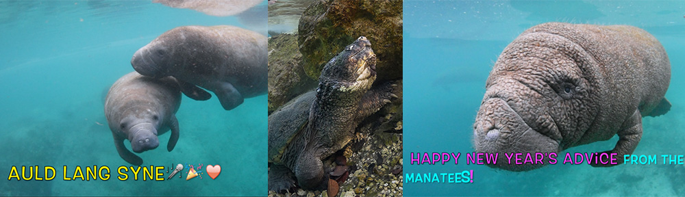 Happy New Year,Happy 2017,manatees,snapping turtle,Three Sisters Springs,springs,Florida springs,