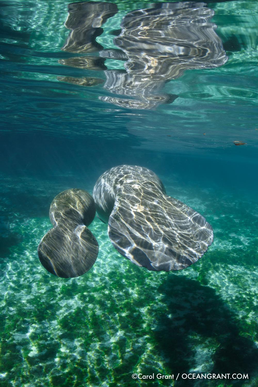 manatees,©Carol Grant,oceangrant.com