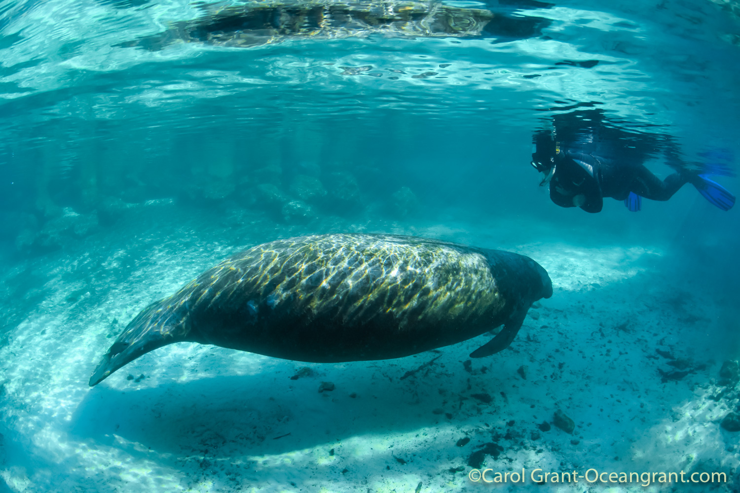 manatee, buddy,Three Sisters Springs,