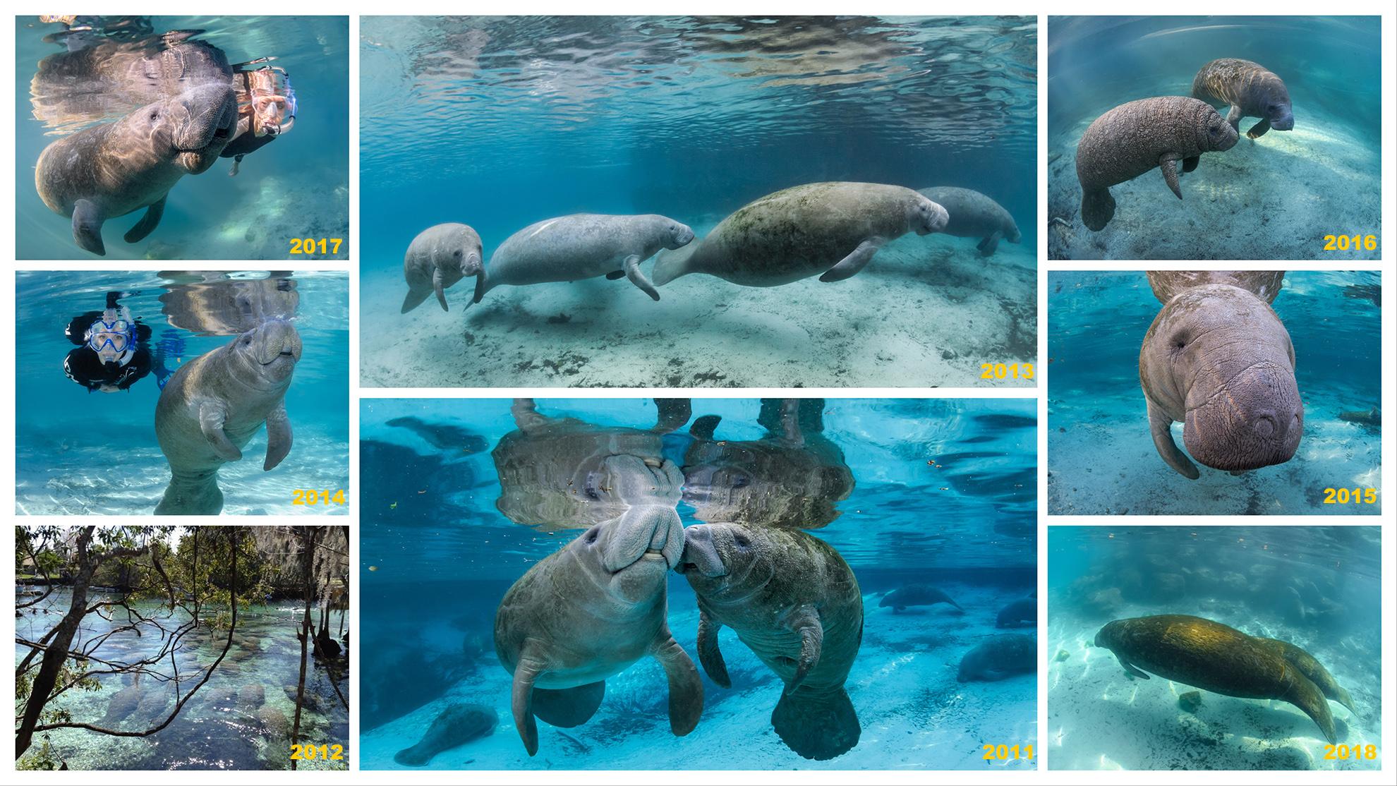 Bday manatees,©Carol Grant - oceangrant.com