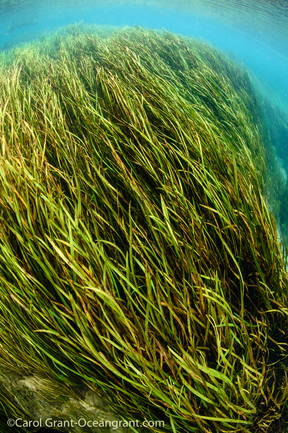 Rainbow River,aquatic grasses, current