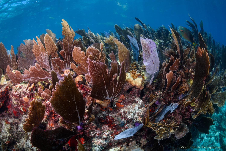 Sea Fans Grecian Reef,©CGrant-oceangrant.com