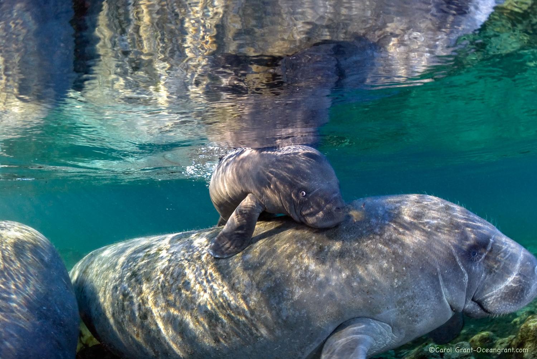 manatee newborn,©CGrant-oceangerant.com