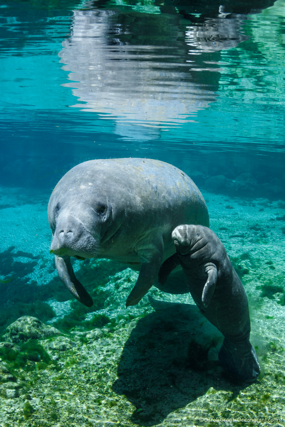 baby manatee with mother,©CGrant-oceangrant.com