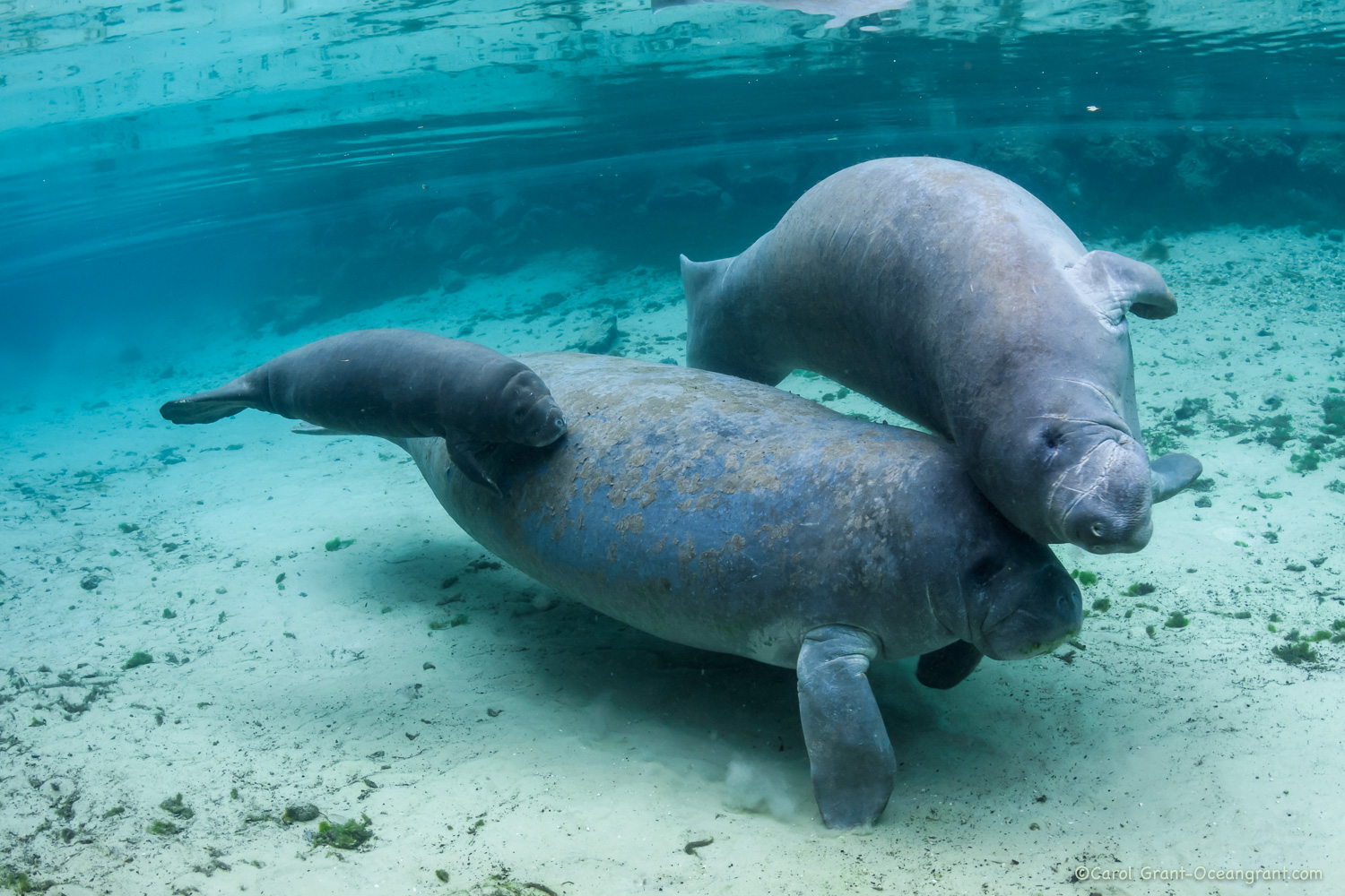 Mother manatee young calf with male,©CGrant-oceangrant.com
