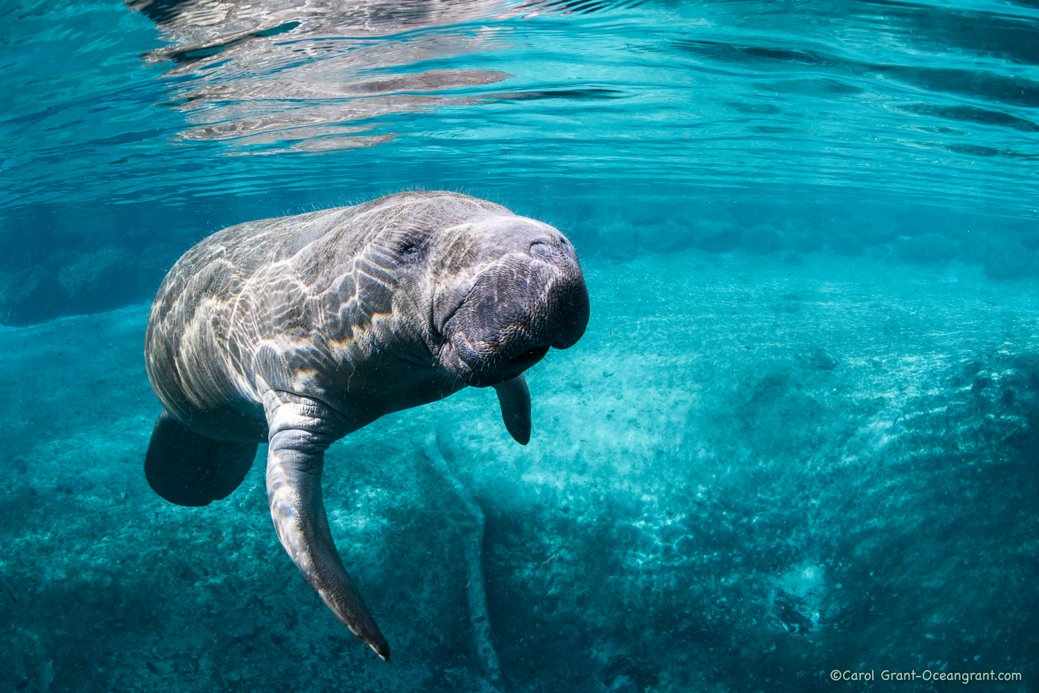 manatee on Christmas,©CGrant-oceangrant.com