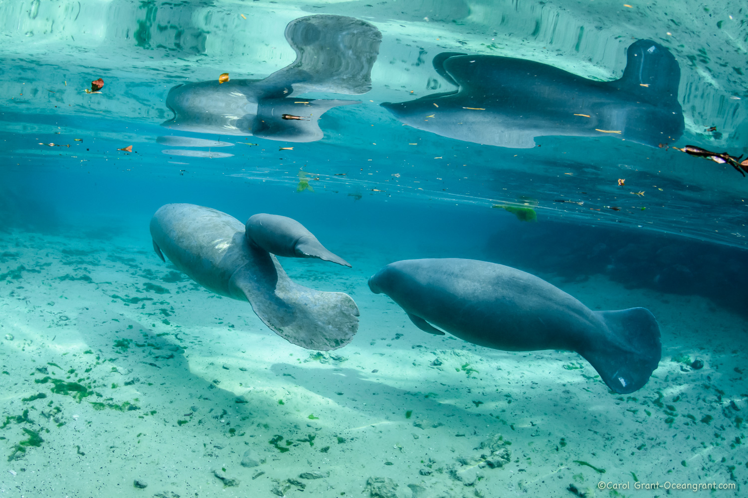 Manatees-mom young calf male follow,©CGrant-oceangrant.com