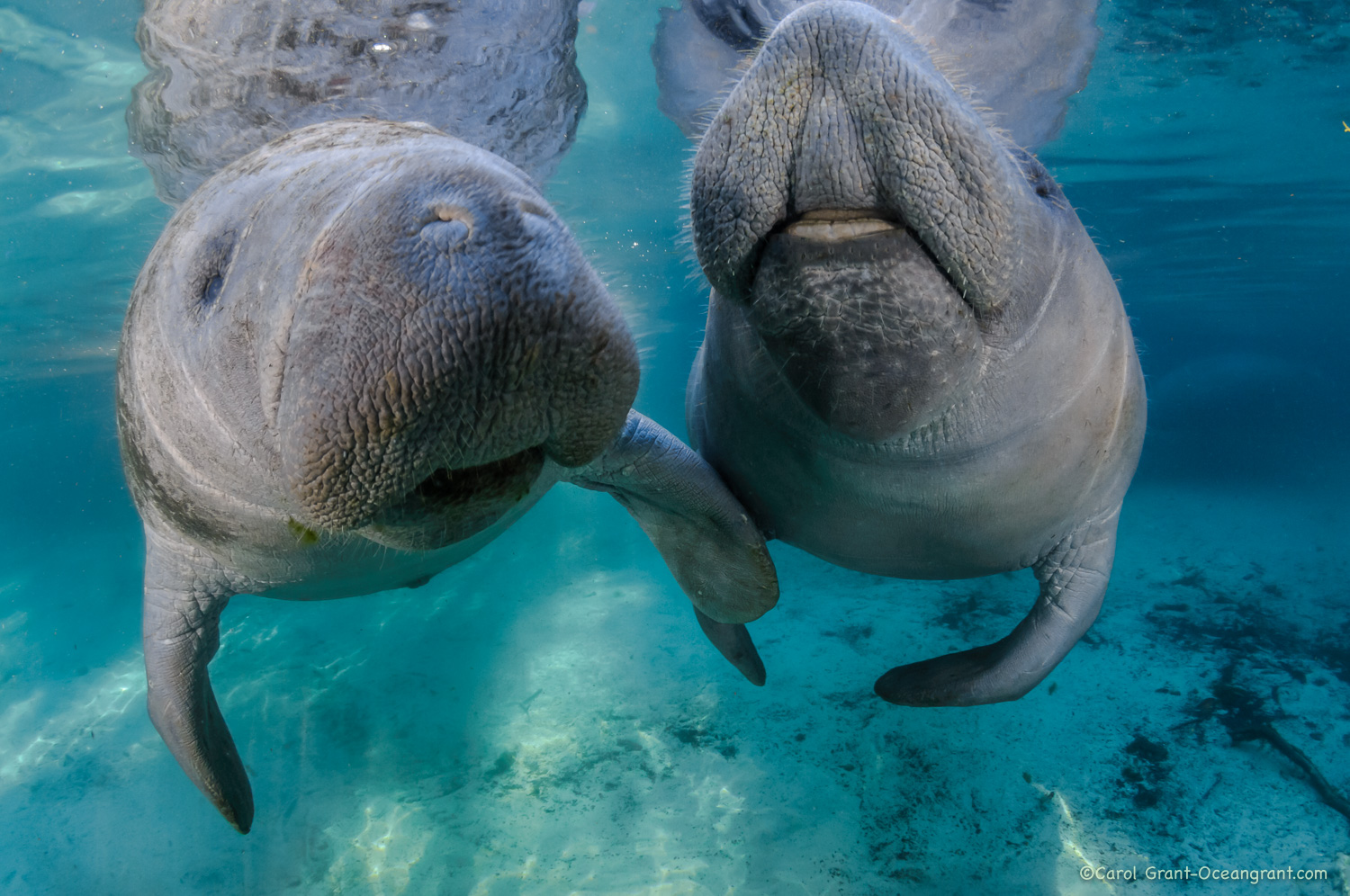 manatees, touch,springs,
