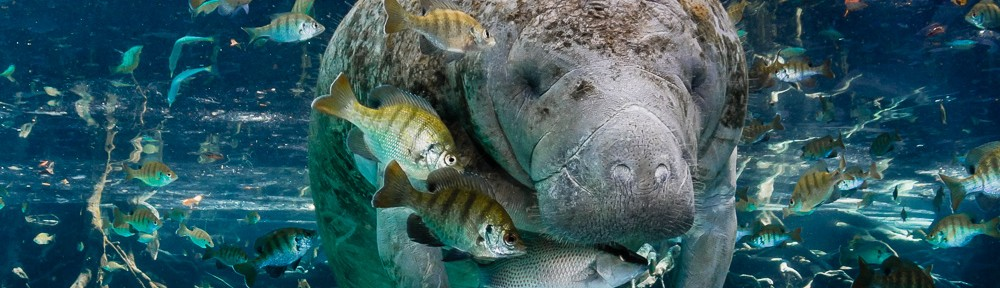 Manatee with fish