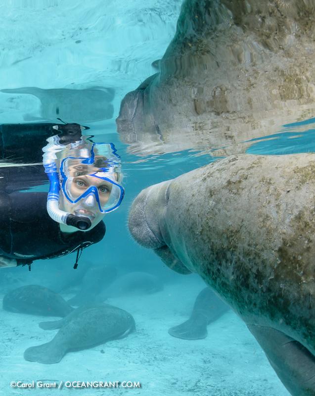 Florida manatee, snorkeler, curious