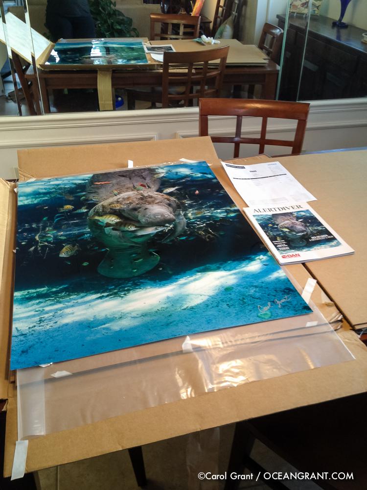 Manatee Print, Alert Diver Cover, Carol Grant,